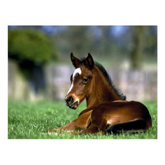 Thoroughbred Horse, Ireland Postcard