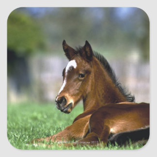 Thoroughbred Horse, Ireland Square Sticker