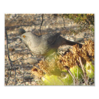 Thrasher Pausing While Eating Cactus Fruit Photographic Print