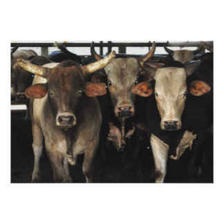 Three Amigos - Bull Cows Staring wild west art Poster