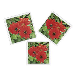 Three as they bloom in red acrylic tray