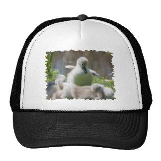 Three Baby Swan Cygnet ducklings cuddling together Cap