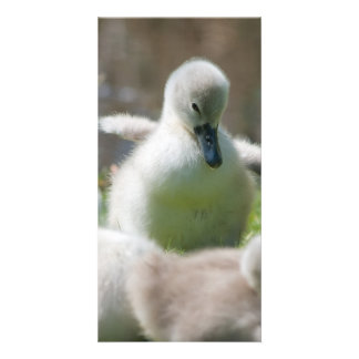 Three Baby Swan Cygnet ducklings cuddling together Picture Card