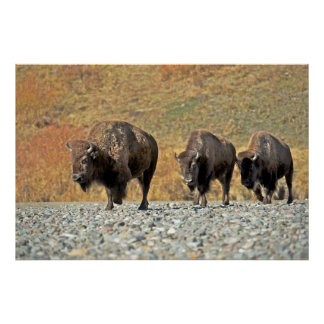 Three bison bulls cross a river bed poster
