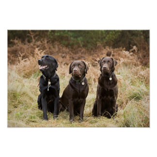 Three Black Labrador retrievers Poster