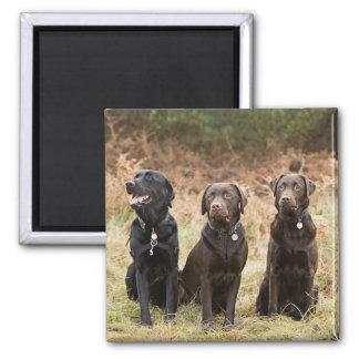 Three Black Labrador retrievers Square Magnet