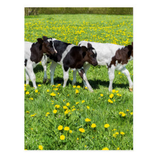 Three black white calves in meadow with dandelions postcard