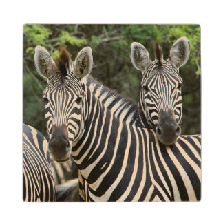 Three Burchell's Zebra (Equus Burchellii) Stand Wood Coaster