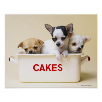 Three chihuahua puppies in cake tin poster