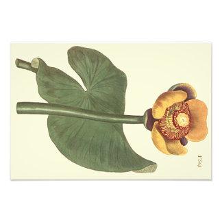 Three Coloured Water Lily Botanical Illustration Photo Art