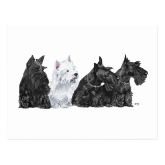 Three Curious Scotties and a Westie Postcard