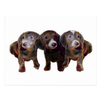 Three Dachshund Dogs Postcard