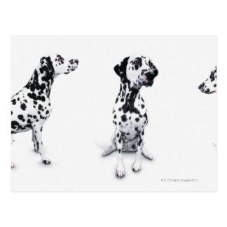 Three Dalmatians Postcard