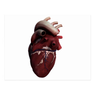 Three Dimensional View Of Human Heart, Right Postcard