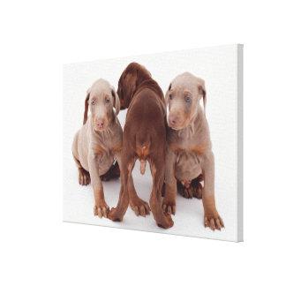 Three Doberman pinscher puppies Canvas Print