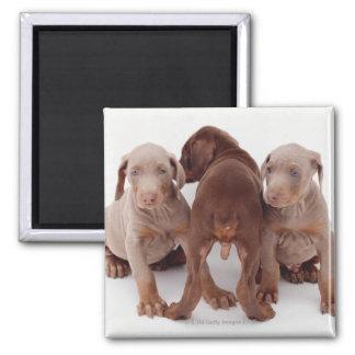Three Doberman pinscher puppies Square Magnet