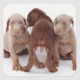 Three Doberman pinscher puppies Square Sticker