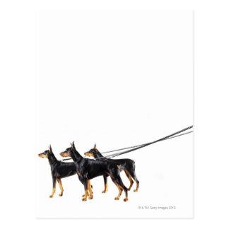 Three Dobermans on leash Postcard