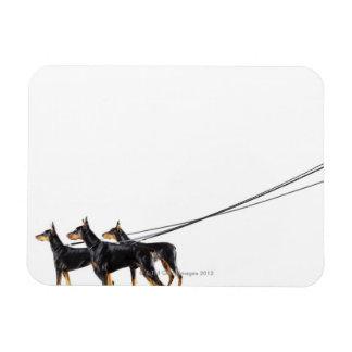 Three Dobermans on leash Rectangular Photo Magnet