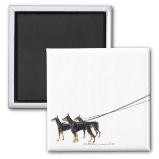 Three Dobermans on leash Square Magnet