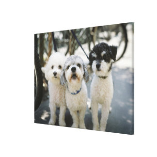 Three dogs canvas print
