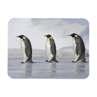 Three Emperor Penguins, Snow Hill Island Magnet