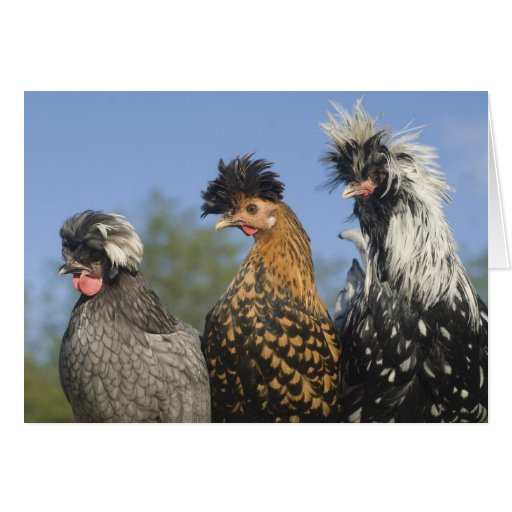 Three Funky Polish Chickens - Funny Birds Cards