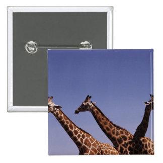 Three giraffes 15 cm square badge
