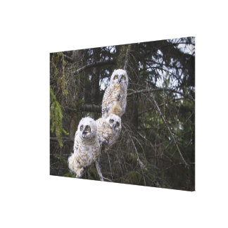 Three Great Horned Owl (Bubo Virginianus) Chicks Canvas Print
