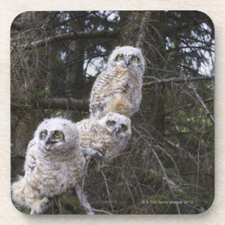 Three Great Horned Owl (Bubo Virginianus) Chicks Coaster