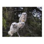 Three Great Horned Owl (Bubo Virginianus) Chicks Postcards