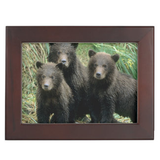 Three Grizzly Bear Cubs or Coys (Cub of the Keepsake Box