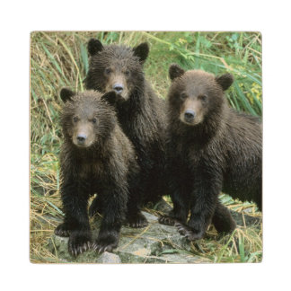 Three Grizzly Bear Cubs or Coys (Cub of the Wood Coaster
