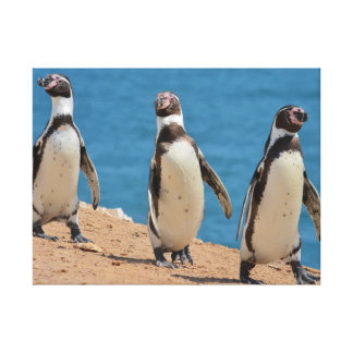 Three Humboldt Penguins Walking Canvas Print