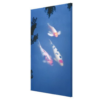 Three Japanese koi fish in pond Canvas Print