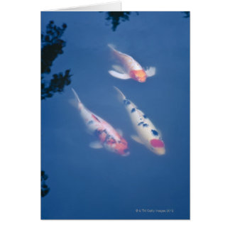 Three Japanese koi fish in pond Card