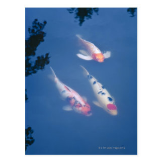 Three Japanese koi fish in pond Postcard