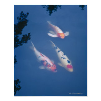 Three Japanese koi fish in pond Poster