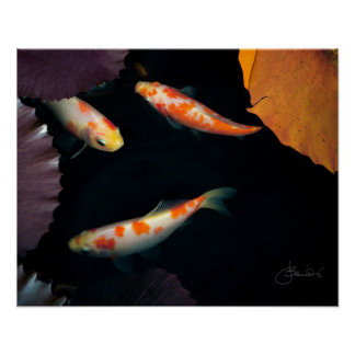 Three koi in water lily pond poster