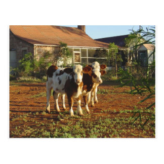 Three Little Calves. Postcard