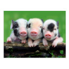 Three little pigs - cute pig - three pigs postcard