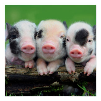 Three little pigs - cute pig - three pigs poster