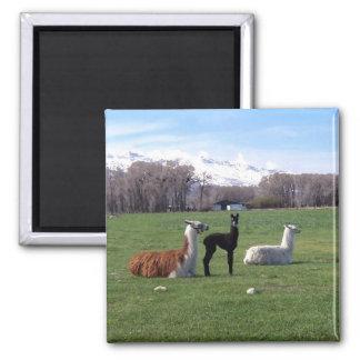 Three Llamas In Field Magnet
