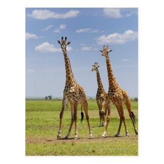 three Masai giraffes, Giraffa camelopardalis Postcard