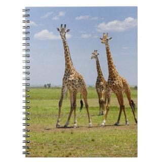 three Masai giraffes, Giraffa camelopardalis Spiral Notebook