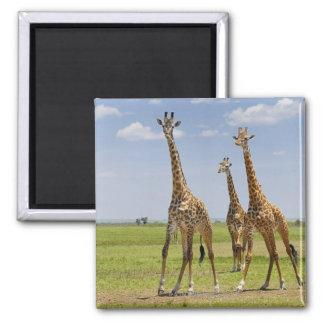 three Masai giraffes, Giraffa camelopardalis Square Magnet