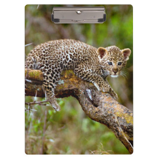 Three Month Old Leopard (Panthera Pardus) Cub Clipboard