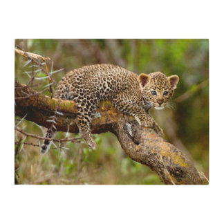 Three Month Old Leopard (Panthera Pardus) Cub Wood Wall Art