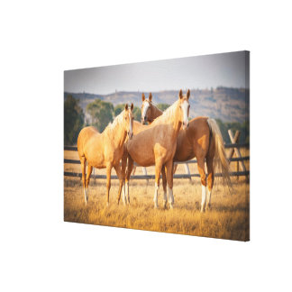 Three Palomino Ponies Canvas Print