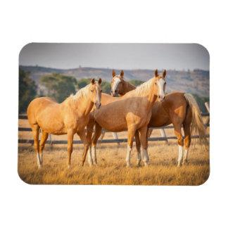 Three Palomino Ponies Magnet